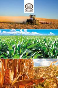 La Polenta: Dal Mais alla Polenta
